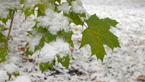 Green leaves with snow 3. Green Leaves Covered with Snow stock video footage
