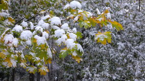 Green leaves with snow 2. Green and yellow leaves covered with snow stock video