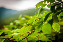 Green Leaves With Soft Mountain Background Royalty Free Stock Image