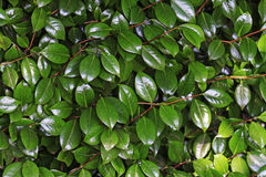 Green leaves with solar Blick Royalty Free Stock Image