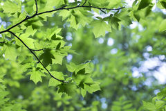 Green leaves of Sorbus torminalis Crantz in the forest. Beautiful spring background royalty free stock photos