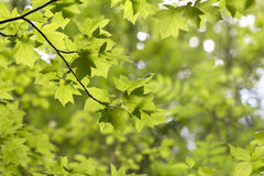 Green leaves of Sorbus torminalis Crantz in the forest. Beautiful spring background royalty free stock photography