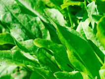 Green leaves of sorre. Close up stock photography