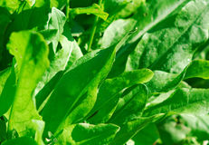 Green leaves of sorre. Closeup stock image