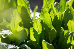 Green leaves of sorrel in the background Royalty Free Stock Images