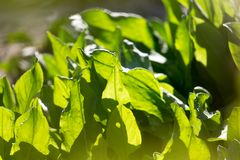 Green leaves of sorrel in the background.  Stock Photography