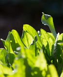 Green leaves of sorrel in the background Stock Image