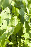Green leaves of sorrel. Growing on the territory of an agricultural field. Photographed close-up with shallow depth of field stock photos