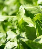Green leaves on sorrel in nature. In the park in nature stock images