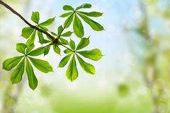 Green leaves on spring background. Green leaves of chestnut on spring background royalty free stock photos