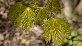Green leaves in spring. Beautiful young green maple tree swinging in the wind. stock video footage