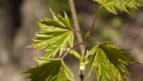 Green leaves in spring. Beautiful young green maple tree swinging in the wind. stock footage