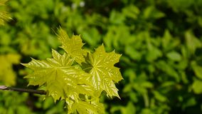 Green leaves in spring. Beautiful young green maple tree swinging in the wind. stock video