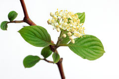 Green leaves and spring flowers on a branch tree. Stock Photography