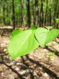 Green leaves in spring forest Stock Images