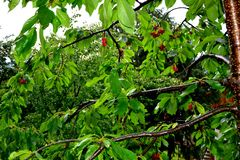 Some cherries in a cherry tree in orchard, in early summer. Green leaves in the spring in garden. Water drops and nice image in a sunny day Stock Photography