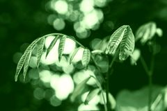 Green leaves spring  with green light  bokeh , spring  nature  wallpaper background. Green leaves spring  with green light  bokeh at sunrise  , spring  nature royalty free stock photo