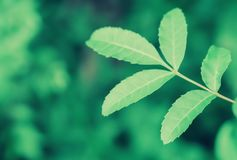 Green leaves  spring nature relax photo   wallpaper background Royalty Free Stock Photography