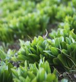 Green leaves of spring plants Royalty Free Stock Photo
