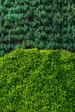 Green leaves of the spring as a background. Green leaves of the spring season Royalty Free Stock Image