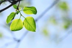 Green leaves in spring sunny day. And blue sky on background Royalty Free Stock Photo