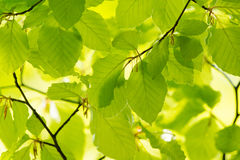 Green leaves in spring. Green leaves at the tree in spring time Stock Photography