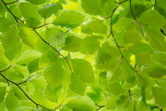 Green leaves in spring Royalty Free Stock Photography