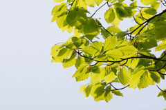 Green leaves in spring. Green leaves at the tree in spring time Royalty Free Stock Photo