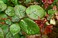 Green leaves of spring wet Stock Photos