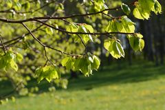Green leaves spring. Young green leaves spring time Royalty Free Stock Photo