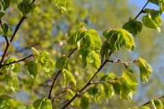 Green leaves spring. Young green leaves spring time Stock Image