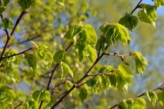 Green leaves spring. Young green leaves spring time Stock Photo