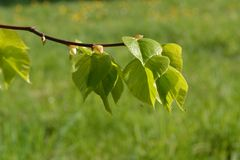 Green leaves spring. Young green leaves spring time Stock Photography