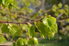 Green leaves spring. Young green leaves spring time Royalty Free Stock Images