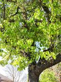 Green Leaves Springtime Tree. This photo was taken during Spring Time 2018 In Central California Royalty Free Stock Photo