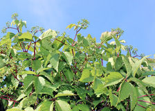 Green leaves and stalks of maiden grapes Royalty Free Stock Photos