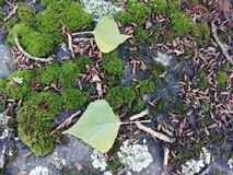 Green leaves. On stone wall covered with moss and lichen royalty free stock photography