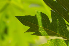 Green leaves with streaks Stock Image