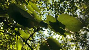 Green Leaves and Summer Sun with Beautiful Lens Flare Against the Blue Sky. HD, Slowmotion. Green Leaves and Summer Sun with Beautiful Lens Flare Against the stock video footage