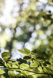 Green leaves with sun. A Stock Photos