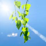 Green leaves and sun Stock Image