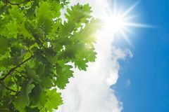 Green leaves and sun. Green oak leaves and bright sun in blue sky Royalty Free Stock Images