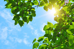 Green leaves and sun. On blue sky Stock Photo