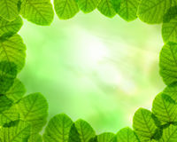 Green leaves on sun beam background. The ornament. Green laurel Leaves background Stock Images