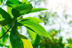 Green leaves with sun. Green leaves with bright sun Stock Photos