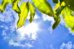 Green leaves and sun. Green leaves and  bright sun in afternoon Stock Photography