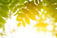 Green leaves with sun. Close up selective focus Stock Photos