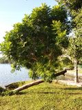 The lake`s slanting tree trunks, leafy. stock photos