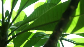 Green Leaves with sun. And lens flare stock footage