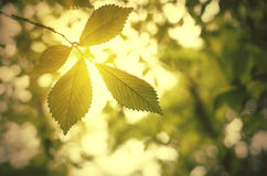 Green leaves and sun Stock Images